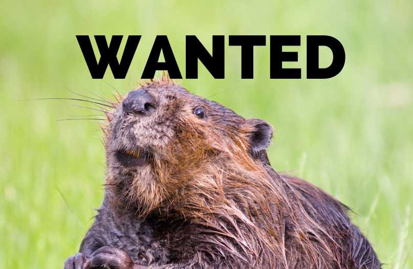 Beavers. Beavers did it. As of Today the Beavers have not been Arrested.